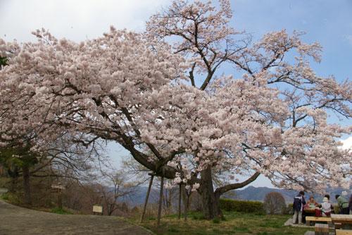 美の山公園の桜_e0062530_18441646.jpg