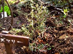 庭しごと2008_c0110869_1430599.jpg