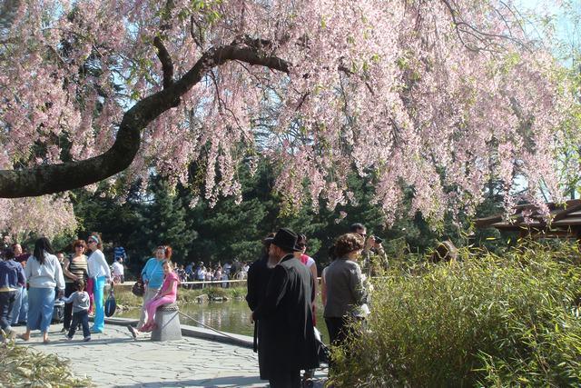 BROOKLYN BOTANIC GARDENの桜 _d0100880_19123229.jpg