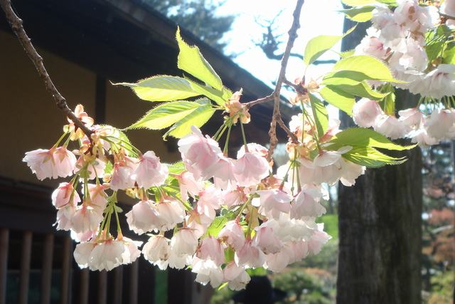 BROOKLYN BOTANIC GARDENの桜 _d0100880_19175531.jpg