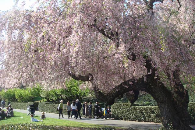 BROOKLYN BOTANIC GARDENの桜 _d0100880_1922950.jpg