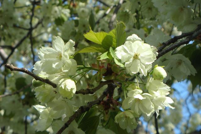 BROOKLYN BOTANIC GARDENの桜 _d0100880_19282240.jpg