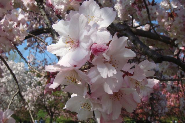 BROOKLYN BOTANIC GARDENの桜 _d0100880_1953290.jpg