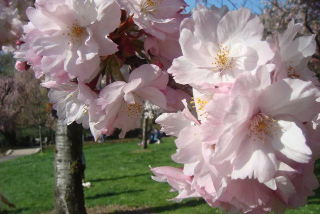 BROOKLYN BOTANIC GARDENの桜 _d0100880_1955334.jpg