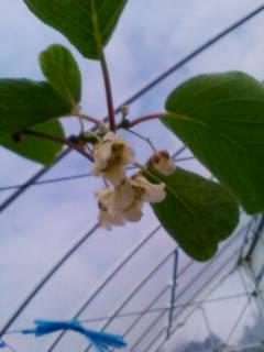 キュウイフルーツの花が初めて咲きました。_d0026905_18251952.jpg