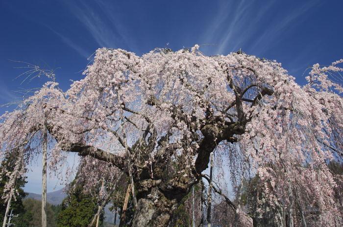 東北の桜を断念・・・_e0056449_22572462.jpg