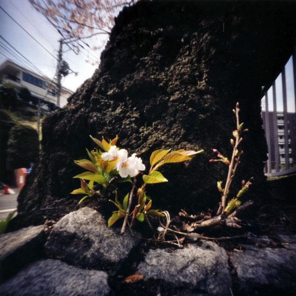 横浜山手の桜 谷戸坂 Pinhole Photography_f0117059_2094635.jpg