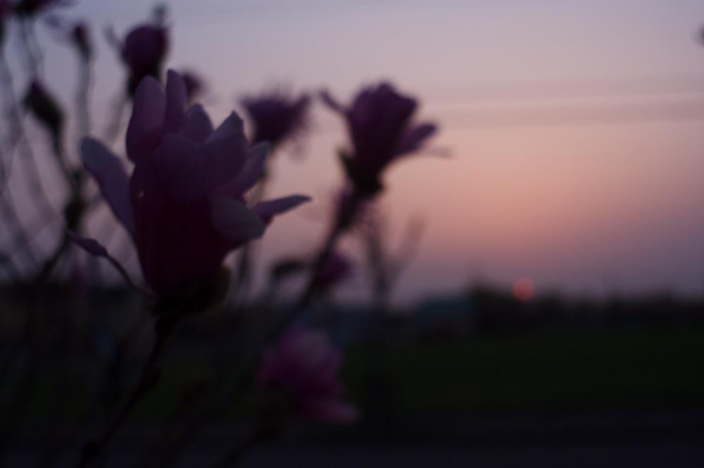 夕焼けとヒメコブシ_f0042194_2231383.jpg