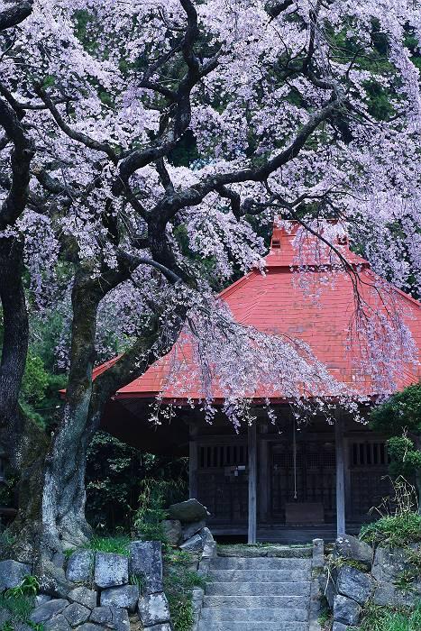 三春周辺の桜_c0077395_618573.jpg