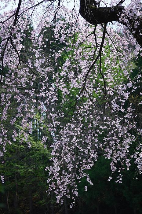 三春周辺の桜_c0077395_6192288.jpg