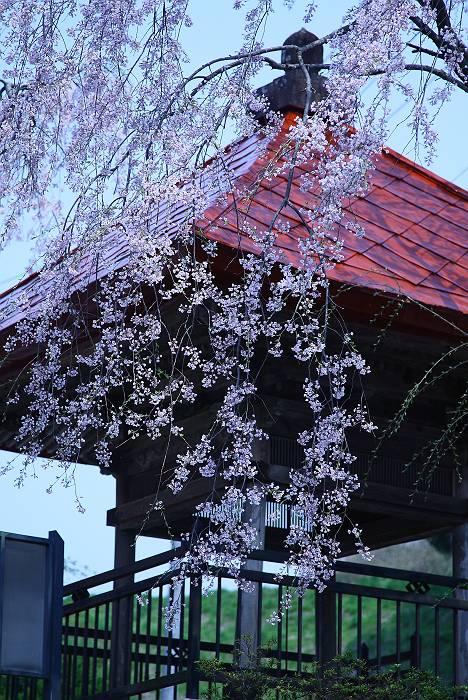 三春周辺の桜_c0077395_6193267.jpg