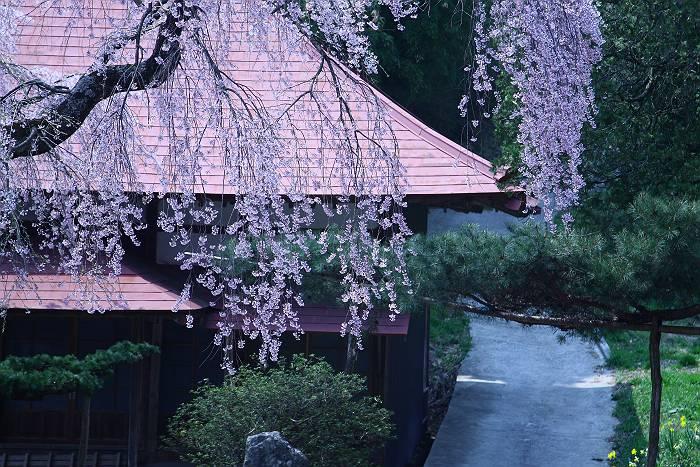 三春周辺の桜_c0077395_619578.jpg