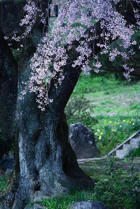 三春周辺の桜_c0077395_7312859.jpg