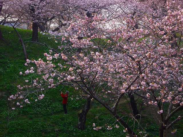 4月23日、松前城の桜_f0138096_11501147.jpg