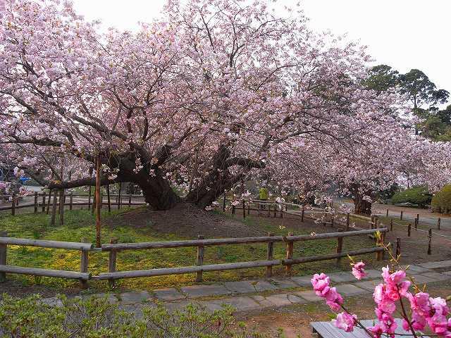 4月23日、松前城の桜_f0138096_11515858.jpg