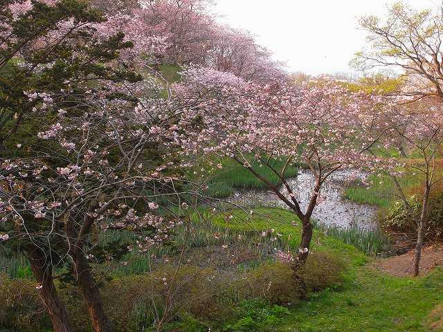 4月23日、松前城の桜_f0138096_11522886.jpg