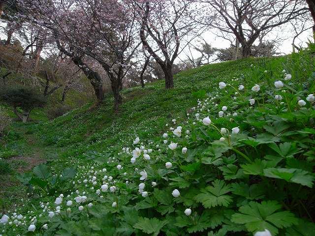 4月23日、松前城の桜_f0138096_11524031.jpg