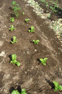 芽が出る畑、レタスとシシトウ植付け。そしてホームタマネギは今・・・・・・_e0097534_1719553.jpg