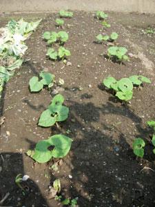 芽が出る畑、レタスとシシトウ植付け。そしてホームタマネギは今・・・・・・_e0097534_17234894.jpg