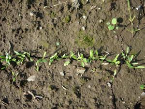 芽が出る畑、レタスとシシトウ植付け。そしてホームタマネギは今・・・・・・_e0097534_17251327.jpg