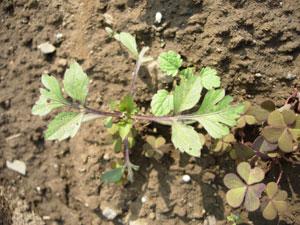 芽が出る畑、レタスとシシトウ植付け。そしてホームタマネギは今・・・・・・_e0097534_17305324.jpg