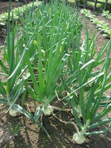 芽が出る畑、レタスとシシトウ植付け。そしてホームタマネギは今・・・・・・_e0097534_17382455.jpg