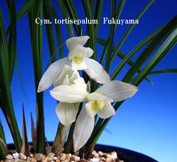 ◆蓮弁蘭の学名が「ピアナム」に、         No.168_b0034163_19485295.jpg
