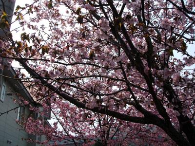 桜さく!_f0096216_1631885.jpg