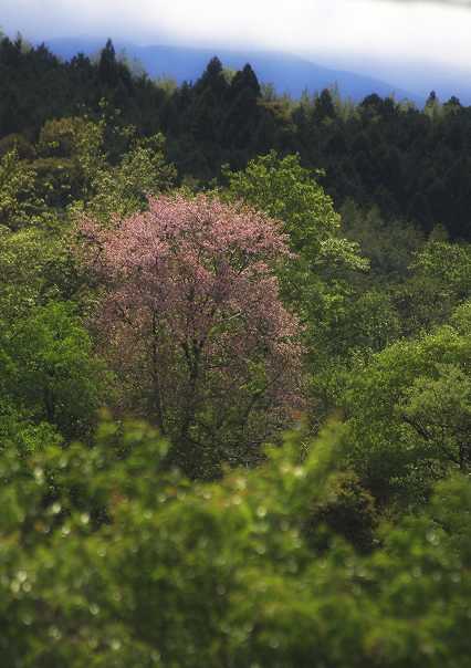 桜かな?_c0110922_21364815.jpg