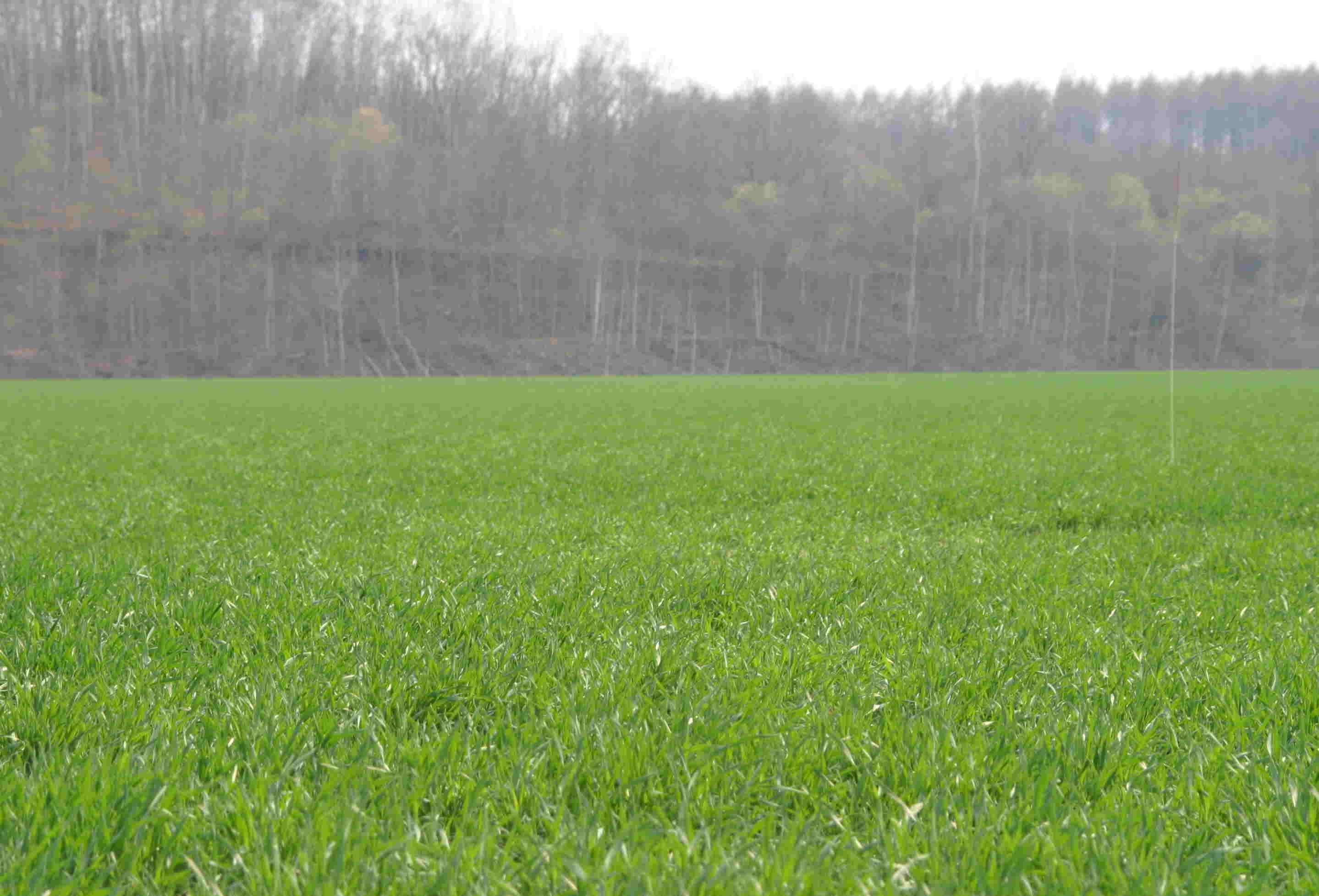 4月24日 小麦は順調です。_a0103738_18184345.jpg