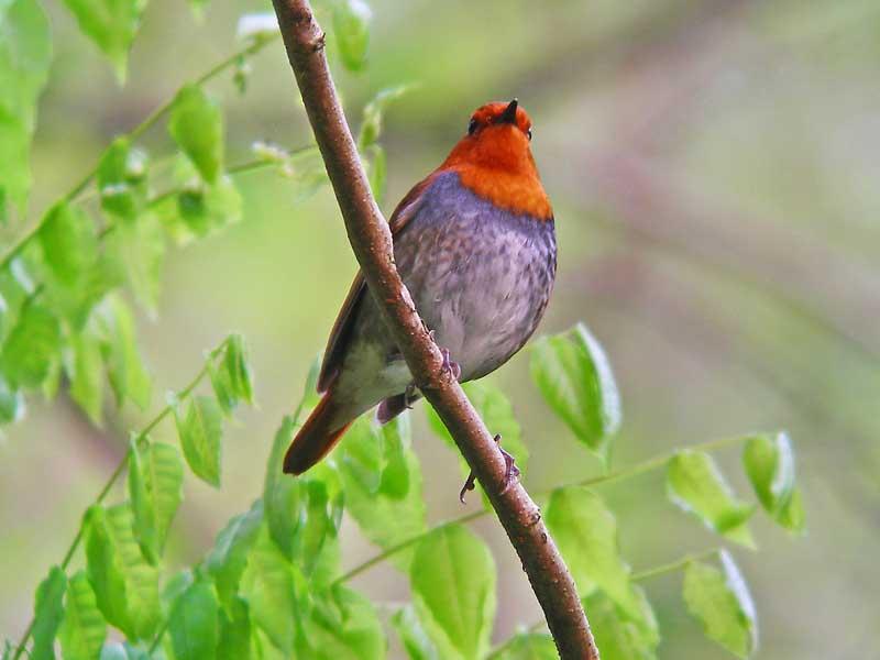 出勤前の鳥見でコマドリ_e0016894_1392665.jpg