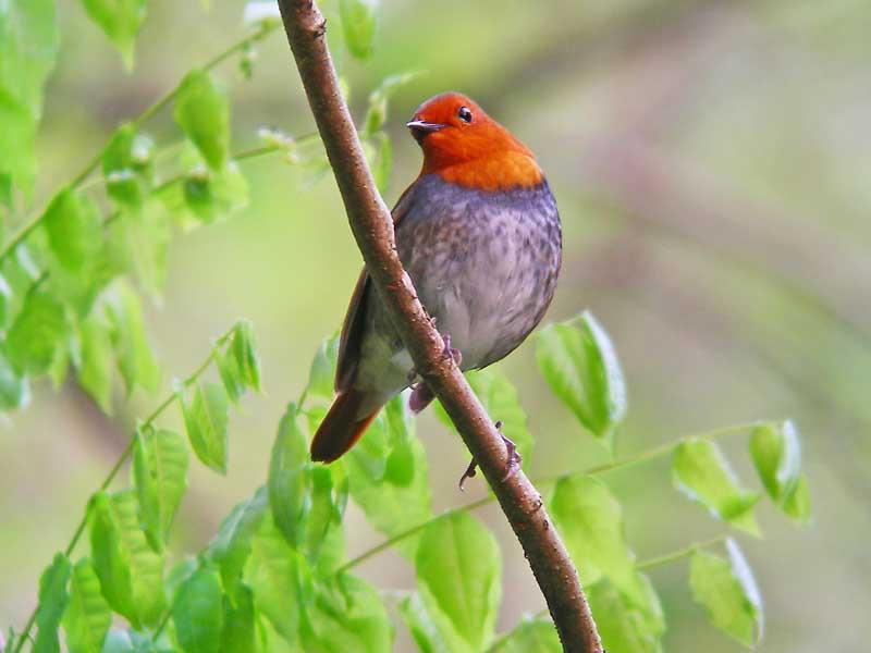 出勤前の鳥見でコマドリ_e0016894_1395536.jpg