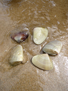 エコ・ツアー(後編) 砂にもぐる貝、発見!_c0053520_2330538.jpg