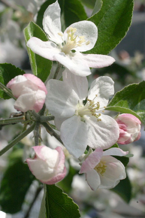 リンゴ~~~の花びらが~~~~_d0138130_87955.jpg