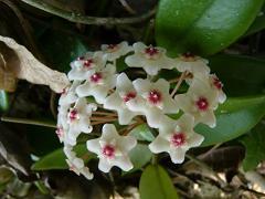 サクラランの花が咲きました_d0100638_12392462.jpg