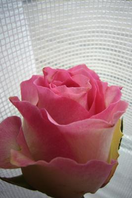4月の薔薇---マリブ_f0105054_187851.jpg