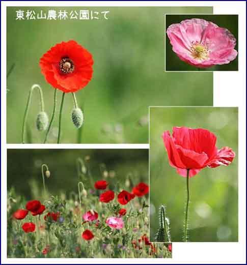 ぼたん園とポピー畑_f0030085_21592620.jpg