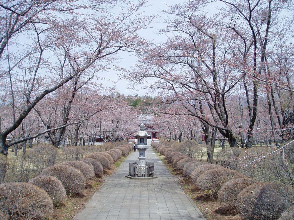 聖光寺千本桜 開花情報 Ⅱ_d0102327_1623222.jpg