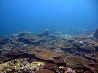 [ダイビング]南のポイントのサンゴたち_a0043520_22585316.jpg