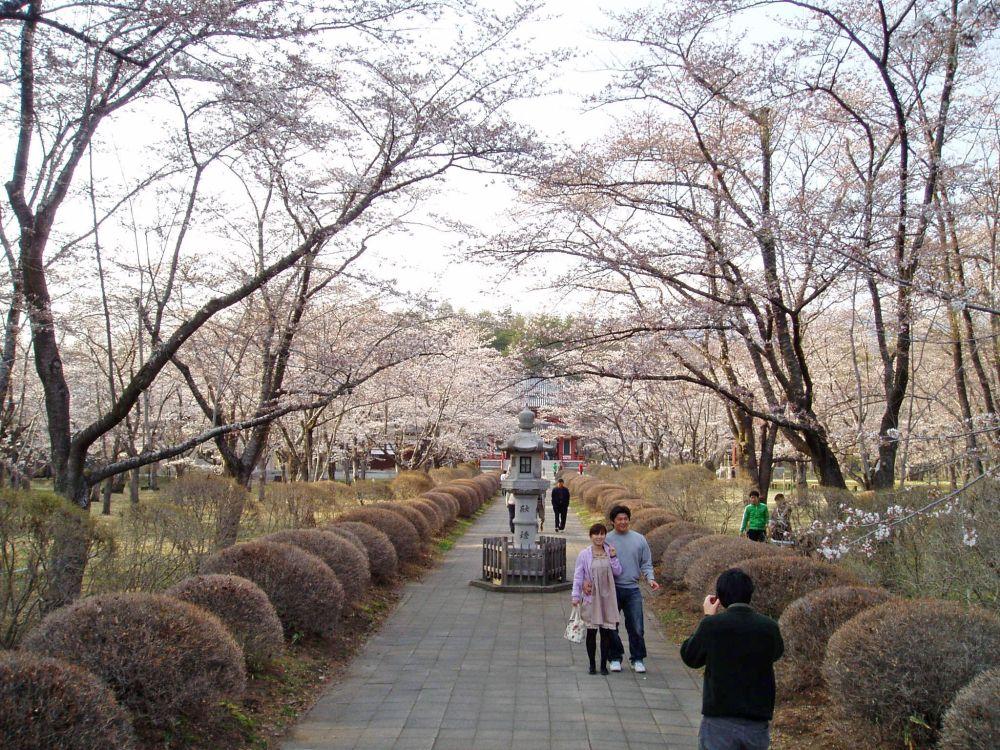 聖光寺千本桜 開花情報 Ⅲ_d0102327_1872021.jpg