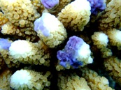 蛍光ブルーのサンゴたち_a0043520_22503532.jpg