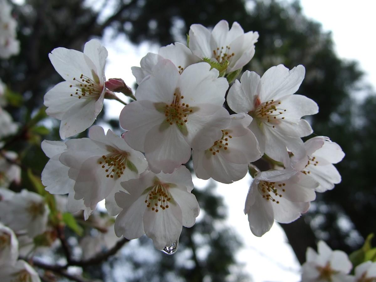 鍋倉山は、やはり桜の名所デアル_d0001843_23303362.jpg