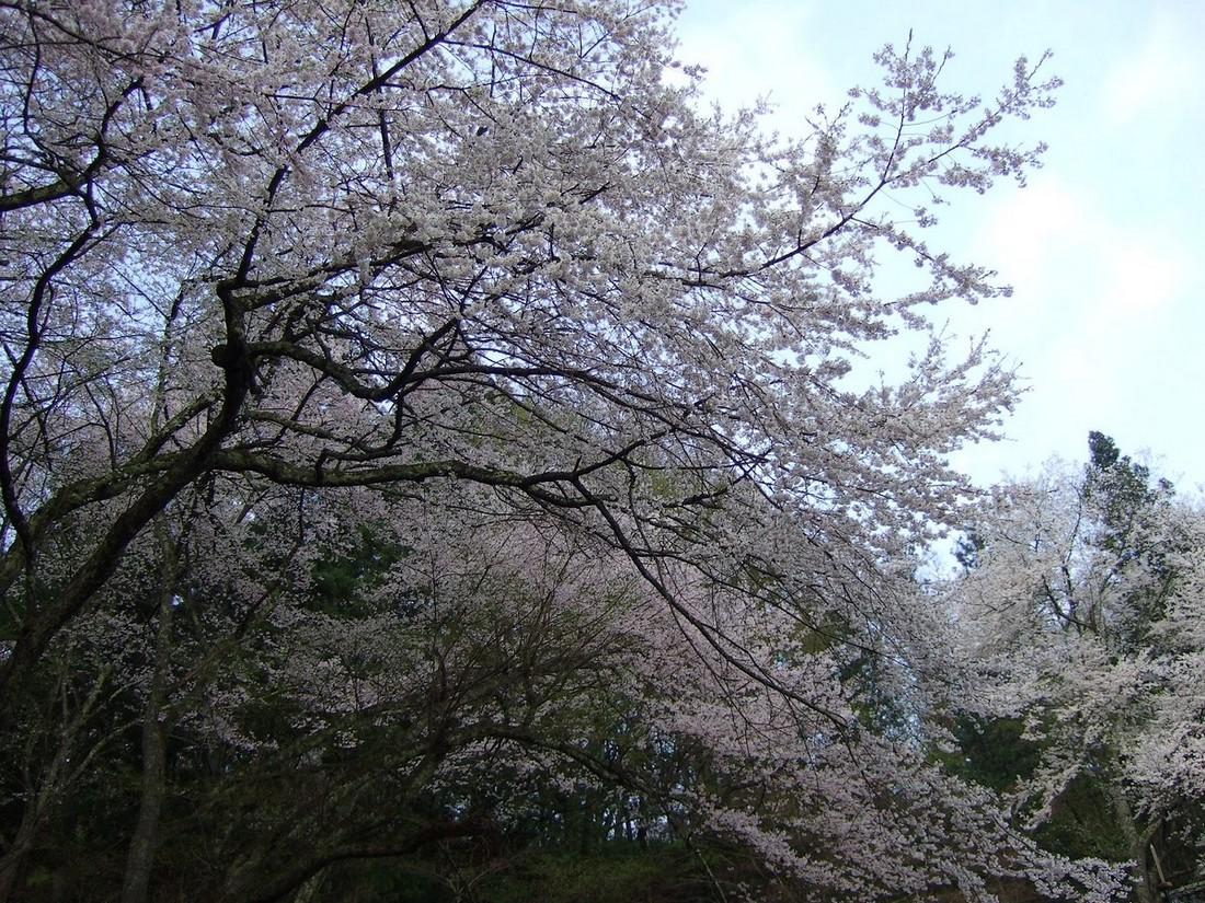 鍋倉山は、やはり桜の名所デアル_d0001843_23342253.jpg