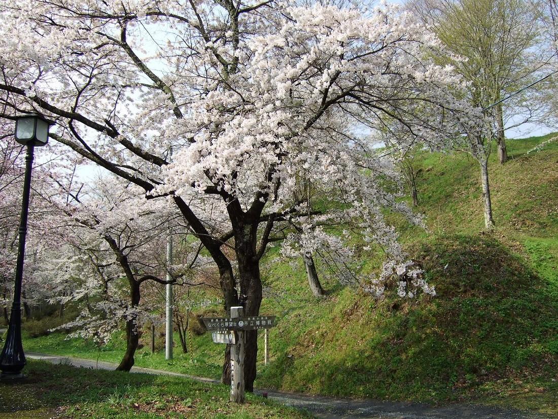 鍋倉山は、やはり桜の名所デアル_d0001843_2336576.jpg