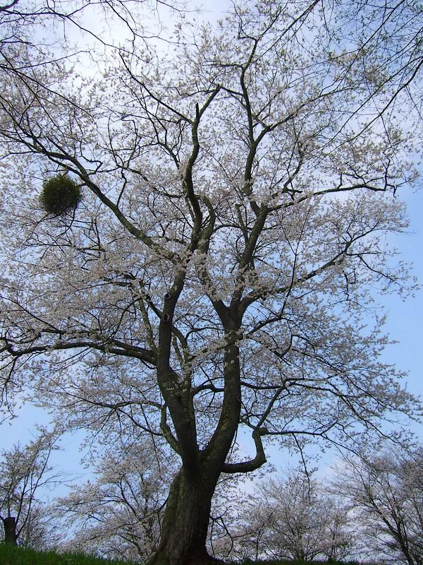 鍋倉山は、やはり桜の名所デアル_d0001843_23403398.jpg