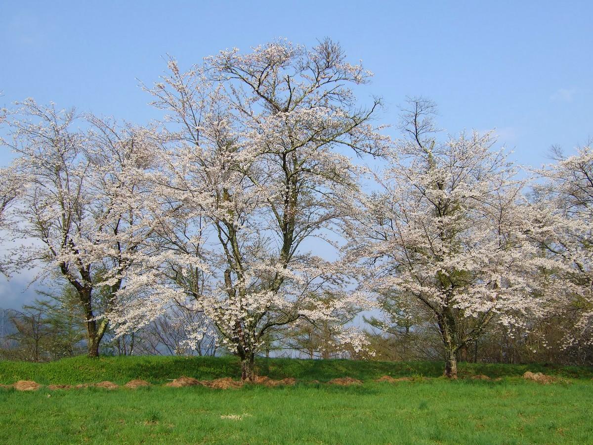 鍋倉山は、やはり桜の名所デアル_d0001843_2341143.jpg
