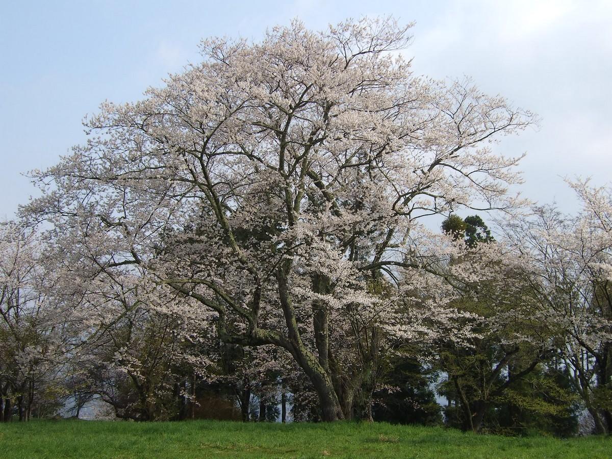 鍋倉山は、やはり桜の名所デアル_d0001843_23412120.jpg