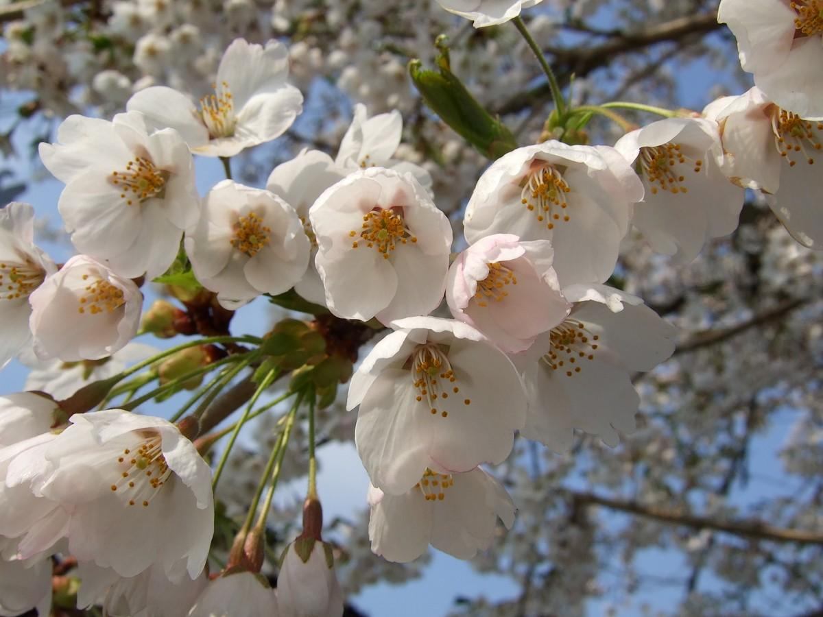 鍋倉山は、やはり桜の名所デアル_d0001843_2342468.jpg