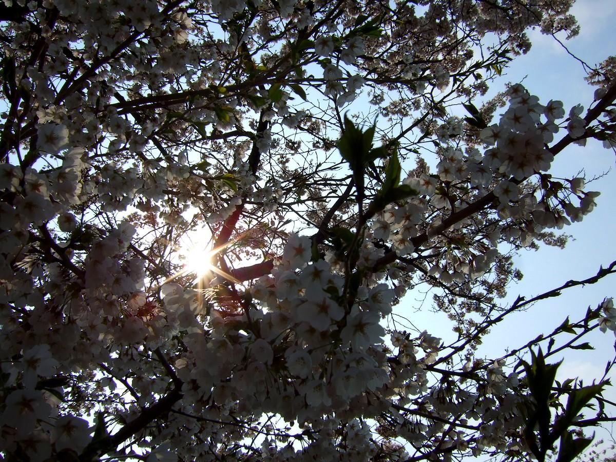 鍋倉山は、やはり桜の名所デアル_d0001843_2345324.jpg