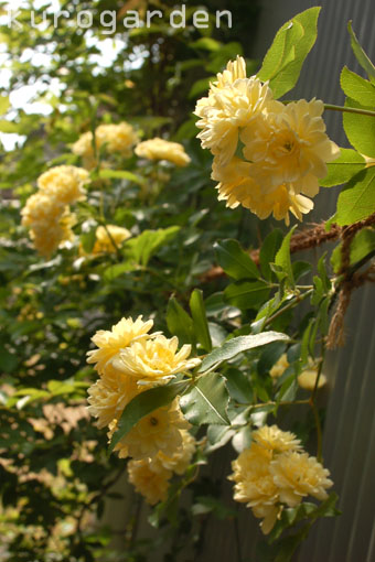 黄色のカーテン(予定)_e0119151_184442.jpg